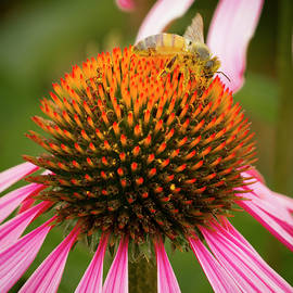 Healthy Echinacea by Jean NorenB