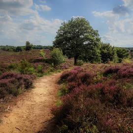 Tim Abeln - Heath landscape with purple heather flowers