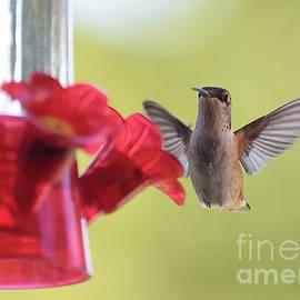 Carol Groenen - Hello Hummingbird
