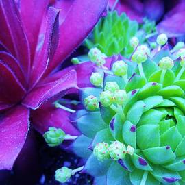 Sharon Ackley - Hens and Chicks Gone Wild
