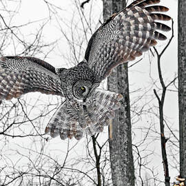 Her Majesty the Great Gray Owl by Asbed Iskedjian