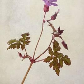 Herb Robert - Wild Geranium  #flower