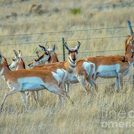 Herd of Antelope by Stephen Whalen