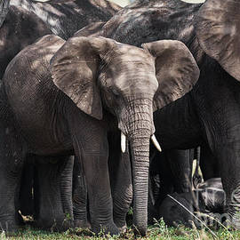 Herd of elephants in the shade in Serengeti by RicardMN Photography