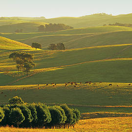 Peter Walton Photography - Herefords Grazing On Rolling Hills Near Korumburra In The Strzelecki Ranges, South Gippsland, Victoria, Australia