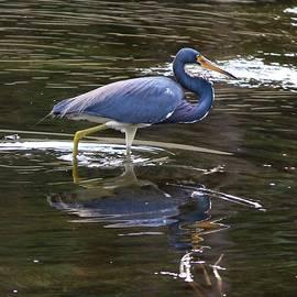 Tricolored Heron Wading through Marsh by Carol Groenen
