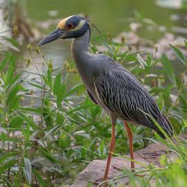 Heron Closeup by John Johnson