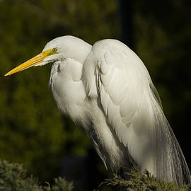 Hernan Caputo - Heron in breeding plumage