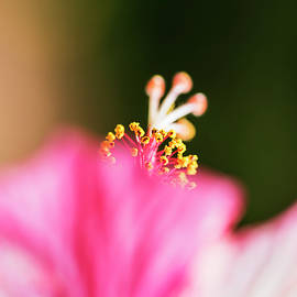 Vishwanath Bhat - Hibiscus abstract