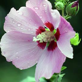 Steven Ward - Hibiscus in the Rain 3066 H_2