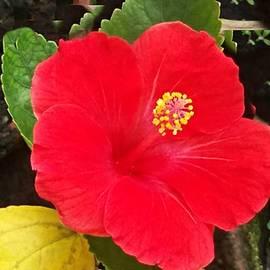 Nilu Mishra - Hibiscus