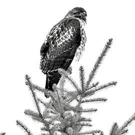 High Key Hawk by Michael Morse