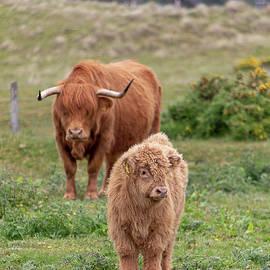 Teresa Wilson - Highland Calf and Mom