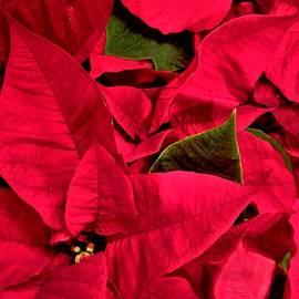 Holiday Poinsettia by Olga Zavgorodnya