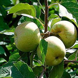 HOMETOWN Series - Carter's Mountain Apple Trees I by Arlane Crump