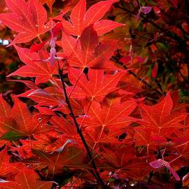 HOMETOWN Series - Japanese Maple