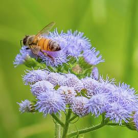 Honey Bee On Flowers by Morris Finkelstein
