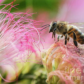 Honey bee On Mimosa Flower by Mitch Shindelbower