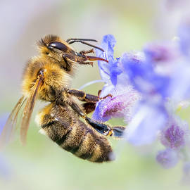 Honey Bee On Russian Sage by Jim Hughes