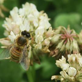 Honey Bee by Pamela Walton