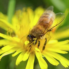 Iris Richardson - Honey Bee Pollinating Macro 5
