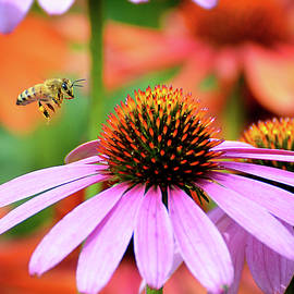 Honeybee Flying to a Coneflower by Rodney Campbell