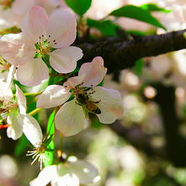 Honeybee in white blossoms by Jeff Swan