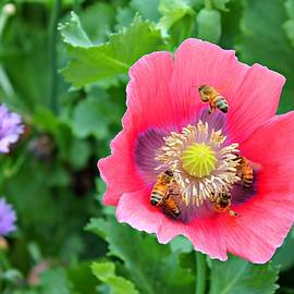 Vicki Dreher - Honeybees In Poppies