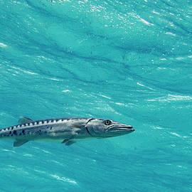 Hoovering Barracuda