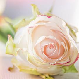 Hope Rose by Pamela Williams