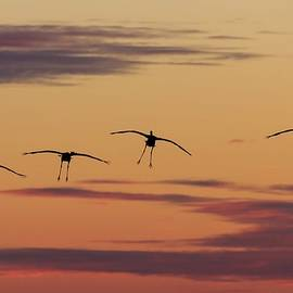 Horicon Marsh Cranes #4 by Paul Schultz
