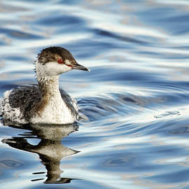Dawn Currie - Horned Grebe II