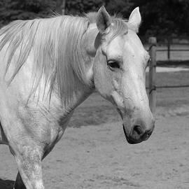 Cynthia Guinn - Horse In Black And White