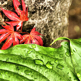 Hosta And Japanese Maple Leaf by Cate Franklyn