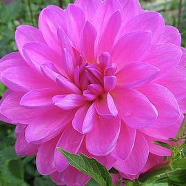 Monnie Ryan - Hot Pink Dahlia