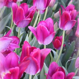 Dora Sofia Caputo Photographic Art and Design - Hot Pink Tulips