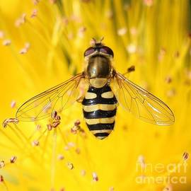 Hoverfly on Golden Hypericum by Jackie Tweddle
