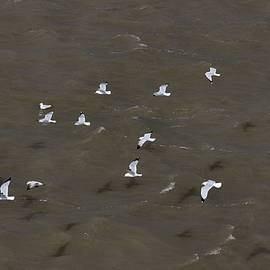 Gothicrow Images - Hovering Seagulls