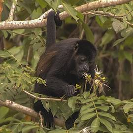 Howler Monkey by NaturesPix