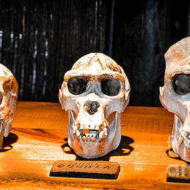 Human Female Male Gorilla Skulls by Gary Keesler