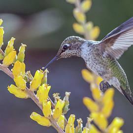 Tam Ryan - Hummingbird 6750-041818-1cr