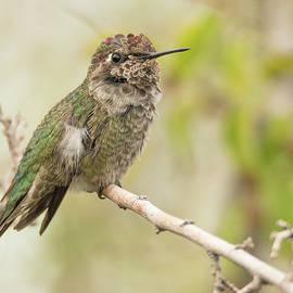 Hummingbird 7485-120117-1cr