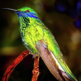 Mark Andrew Thomas - Hummingbird Alight
