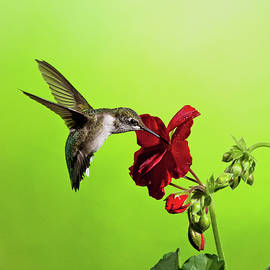 Hummingbird And Gernanium by Lara Ellis