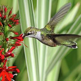 Hummingbird And Lobelia by Debbie Oppermann