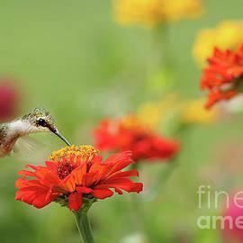 Hummingbird and Zinnias by Darren Fisher