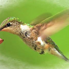 Geraldine Scull - Hummingbird at feeder