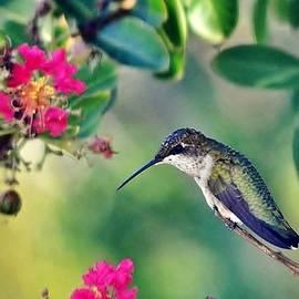 Kim Bemis - Hummingbird at Rest