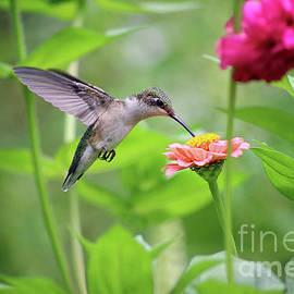 Hummingbird At Zinnia In Garden by Karen Adams