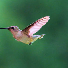 Jeff Swan - Hummingbird flickering its tongue